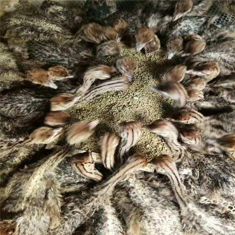 哪里有卖鸵鸟蛋的鸵鸟苗价格山东哪里有大型鸵鸟养殖场