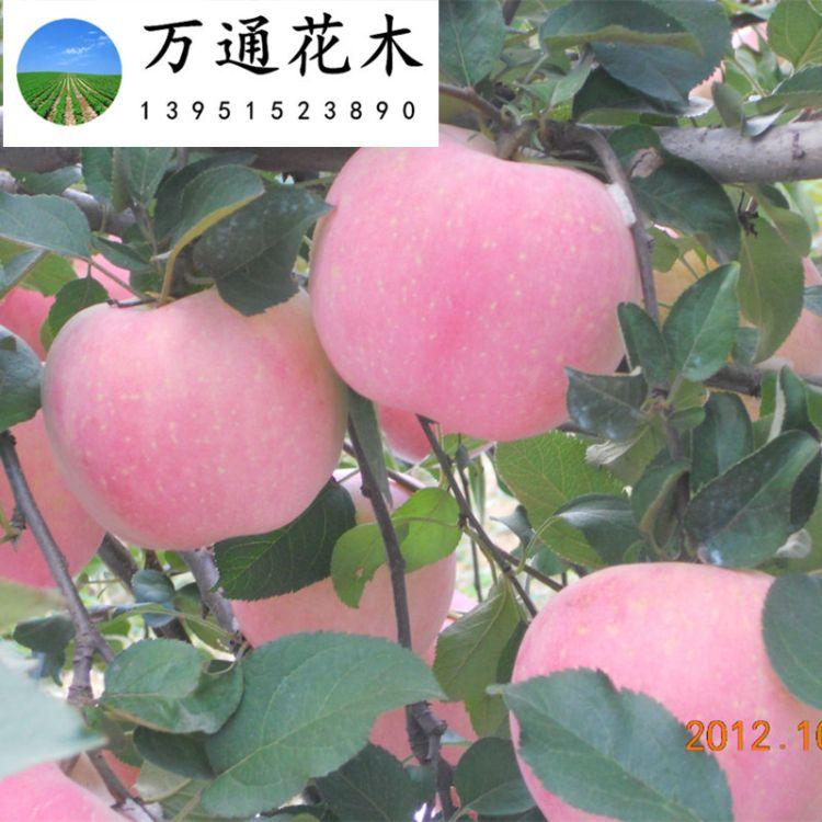 促销苹果树 红富士嫁接苹果树 新品种水果树 乔化苹果树基地