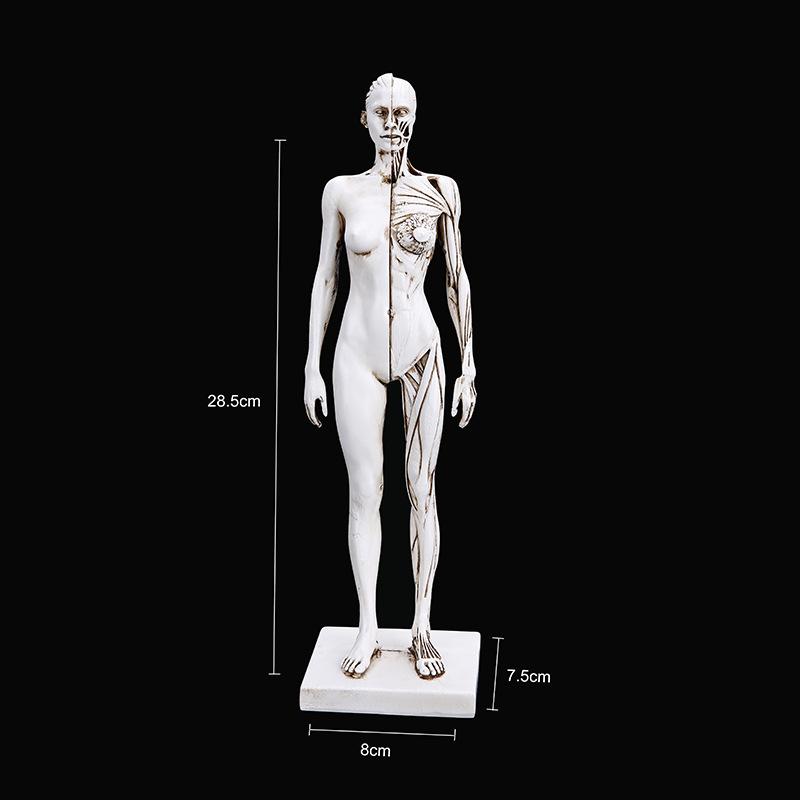高精度 天然树脂 工艺品 教学医用 人体肌肉模型 医学教学用具