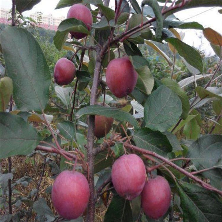批发新品种 果树苗 红肉苹果苗 3年结果苗 送技术指导