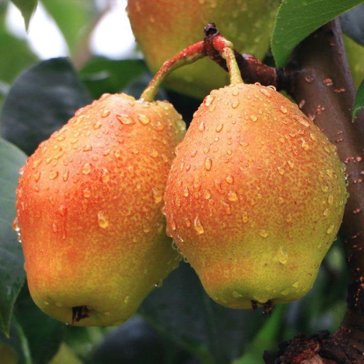基地直销红香酥梨苗南方品种嫁接果树苗木梨子苗庭院种植梨树种苗