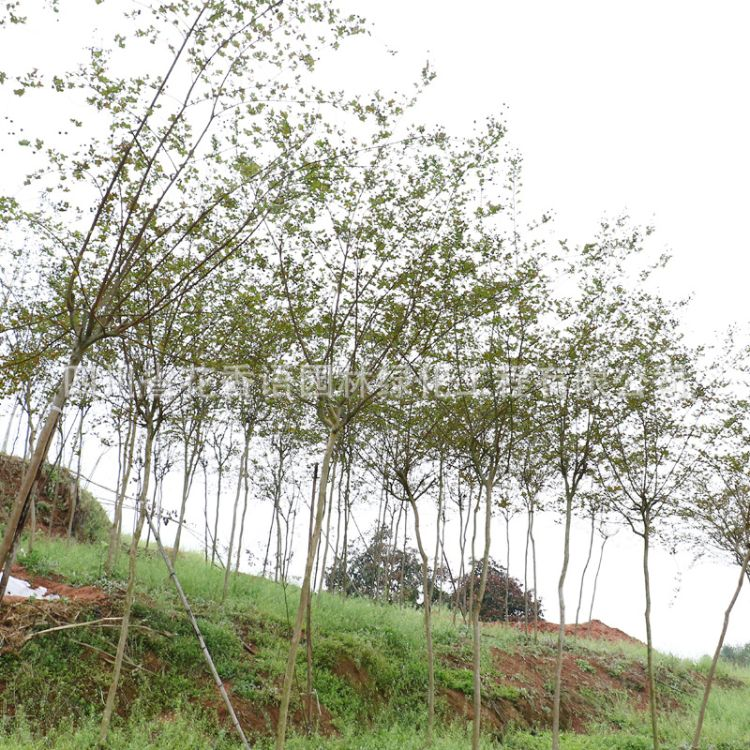 红叶紫薇落叶4-8cm 常绿露地绿化观叶