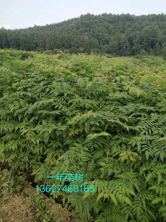 批发栾树树苗专业从事红豆杉等苗木培育绿化苗木