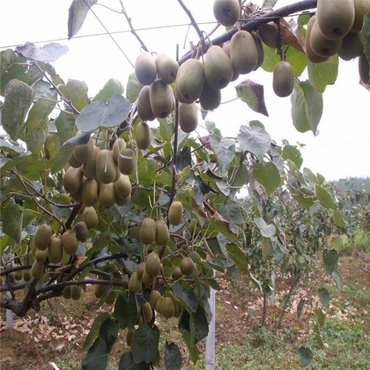 猕猴桃苗 2016猕猴桃苗价格 批发猕猴桃树苗 成活率高