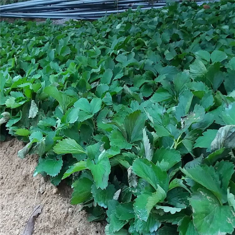 草莓苗  红颜草莓苗 章姬草莓苗...品种齐全 产量高 草莓苗批发