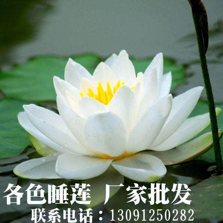 睡莲苗 睡莲种苗 睡莲种植 睡莲、承接各种水生植物种植