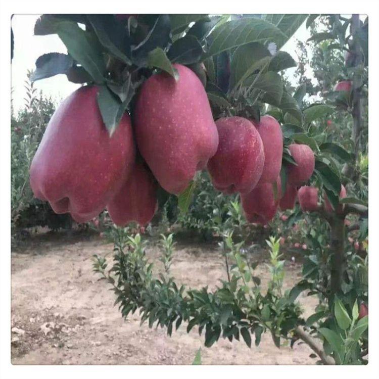 寒富苹果苗 红富士苹果苗 嫁接苹果树苗  提供种植技术