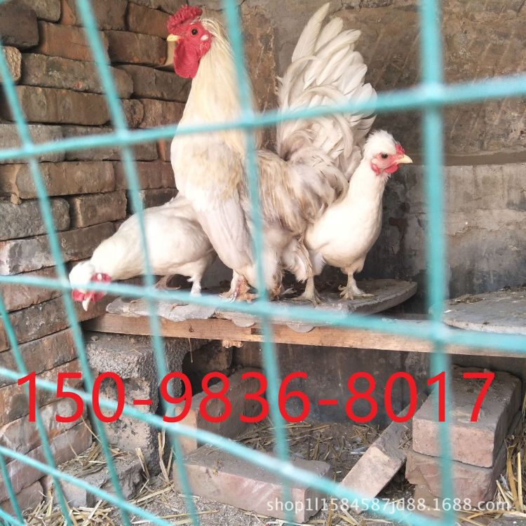 元宝鸡活体,纯种元宝鸡,观赏鸡,矮脚鸡,塞拉玛鸡养殖场直销