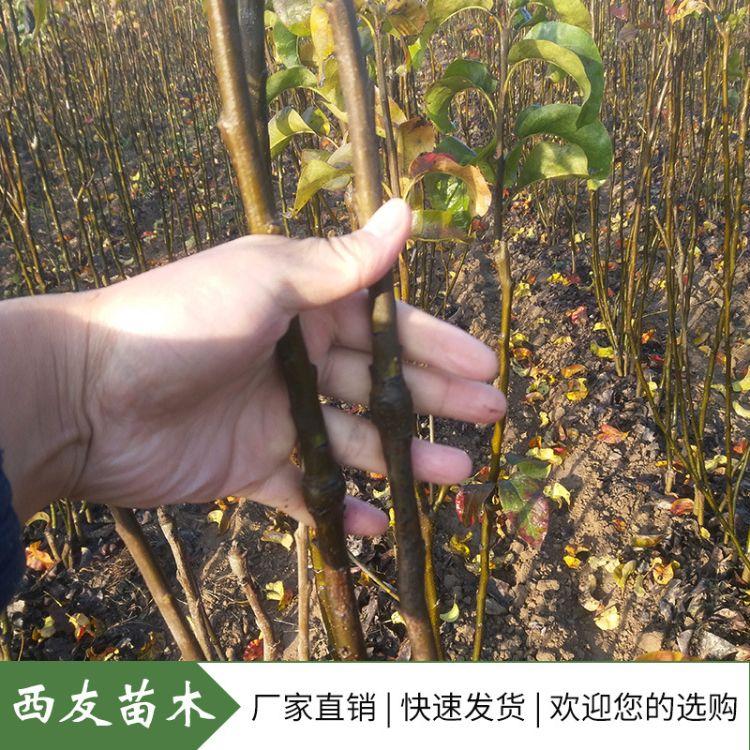 秋月梨树苗 苗圃基地直供 新品种果树苗价格