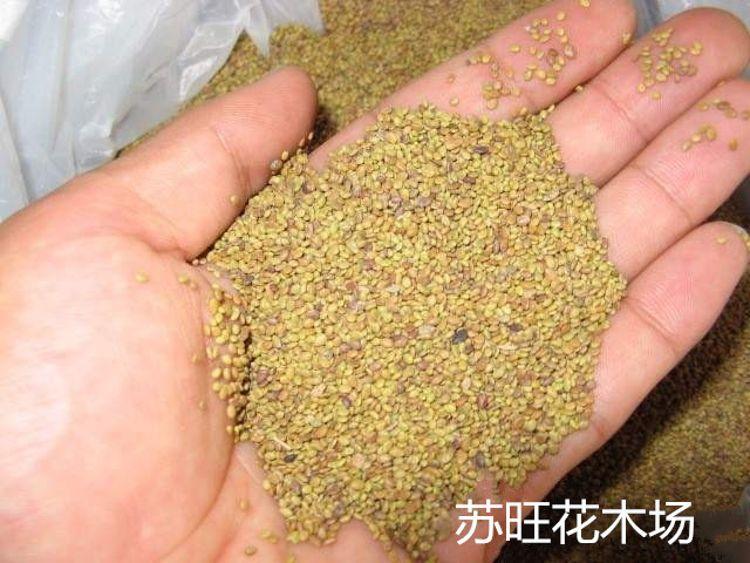 基地批发紫花苜蓿种子 牧草草籽系列 耐寒高产再生性强发芽率高
