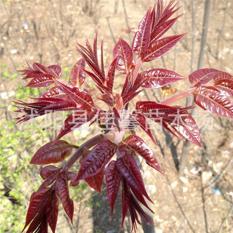 佳馨苗木场 批发香椿种子 红油香椿种子香椿头芽苗菜种子