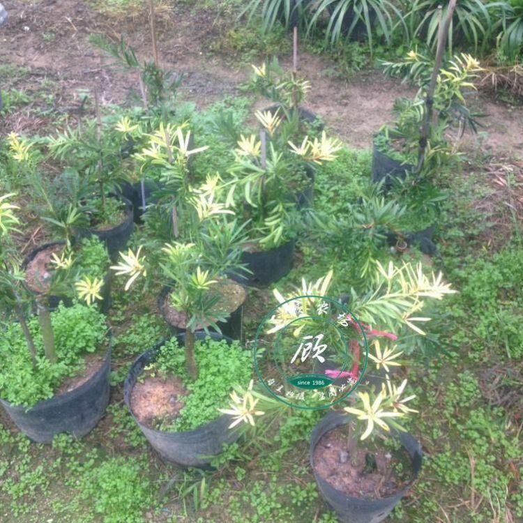 黄叶 黄芽嫁接罗汉松盆栽树苗印度罗汉松红芽珍珠雀舌罗汉松盆景