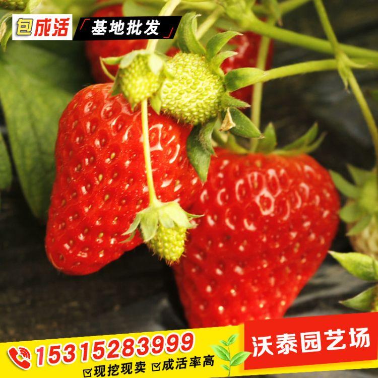 甜查理草莓苗妙香 丰香 红颜草莓苗基地批发2年壮苗法兰地草莓苗