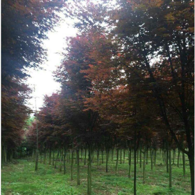 红枫树 广西全州园林道路绿化苗木 基地直销优质庭院风景红枫树