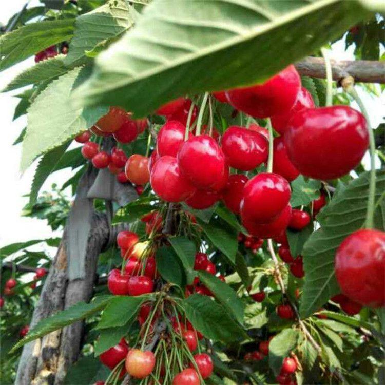 苗圃批发出售吉塞拉樱桃苗颜色好口感佳果大丰产诚信经营樱桃苗