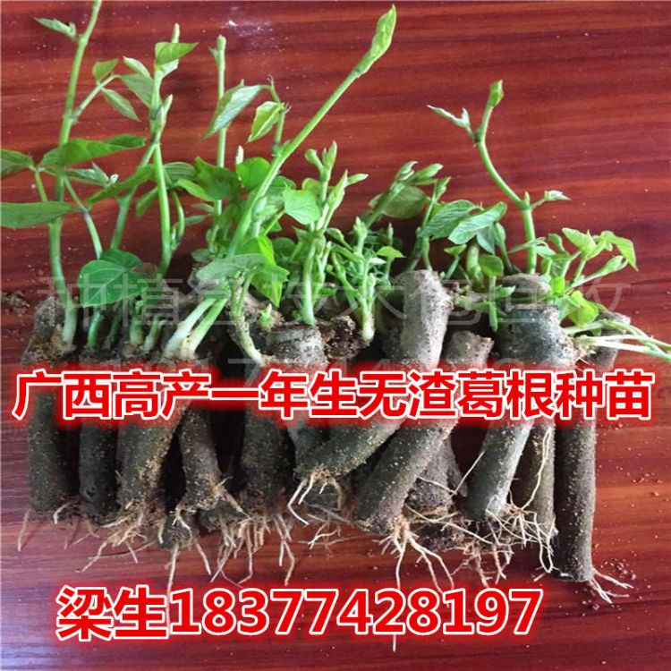 广西藤县和平葛根种苗 2019年春 高产改良品种无渣粉葛带根芽种苗