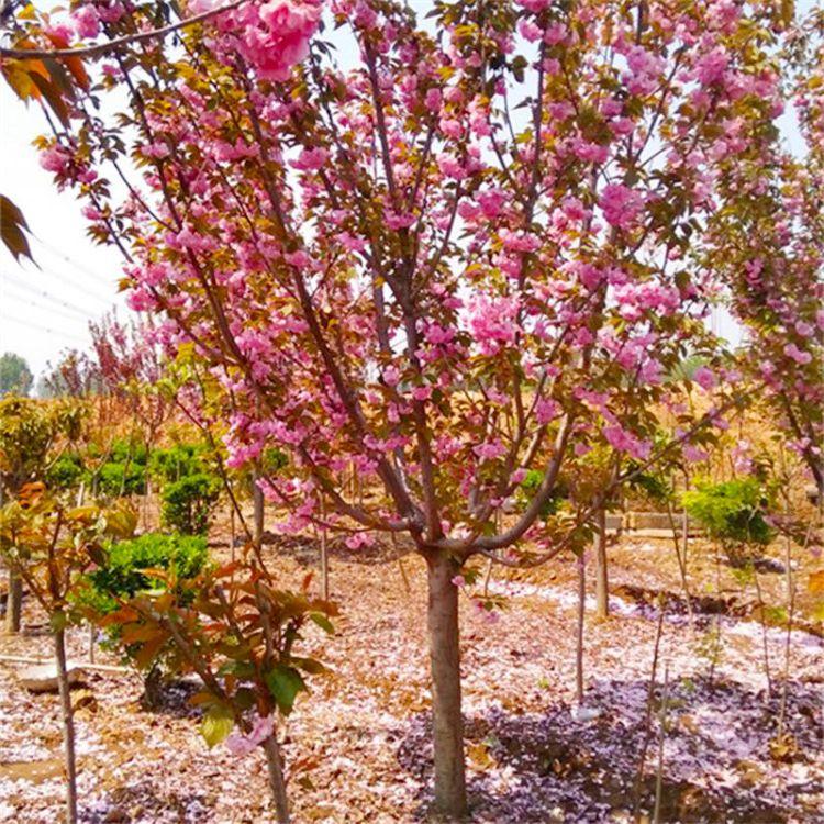 樱花树苗 绿化苗木  工程绿化 日本晚樱 花卉 庭院苗木 别墅花木