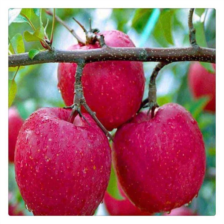 山东M26苹果砧木苗 实生苗 海棠苗  提供种植技术