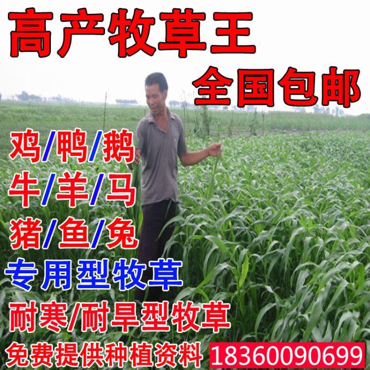 牧草种子多年生黑麦草种子苏丹草种子甜象草苜蓿种子玉米草种子