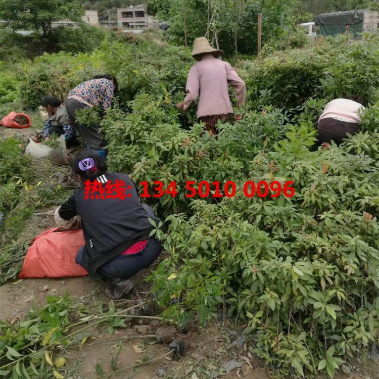 金丝楠木树苗 金丝楠木种子核图片  楠木树苗多少钱一棵 种植方法