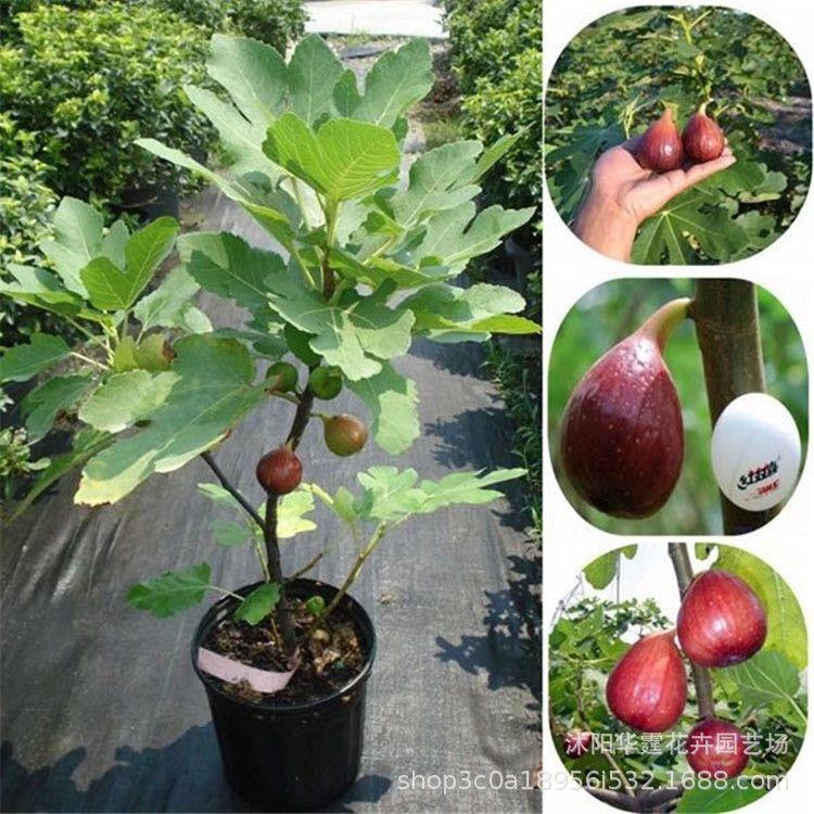 供应果树苗木 可以庭院种植果苗批发 无花果树苗 红心无花果苗