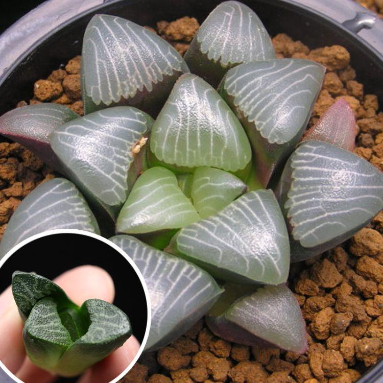 批发克里克特寿多肉植物 电路板寿类组培苗 十二类寿类小盆栽多肉