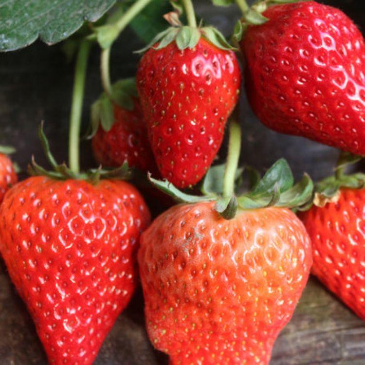 种植草莓苗 丰香草莓苗 挂果多丰香草莓苗 成活率高 易管理#