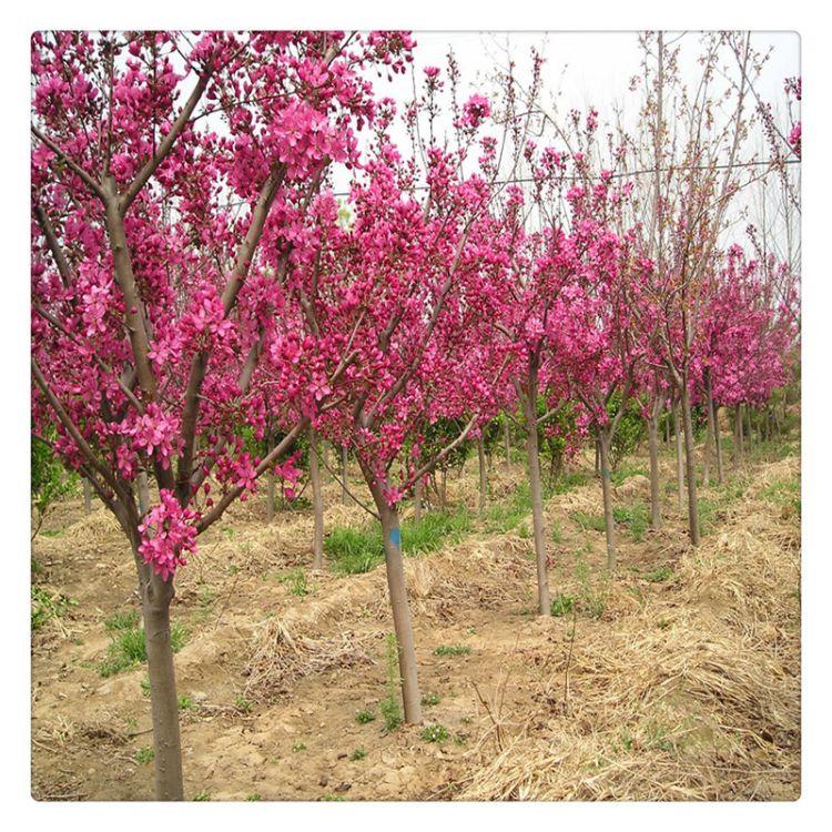 基地出售樱花苗 风景绿化苗规格全价格低现场看苗起苗 樱花苗基地