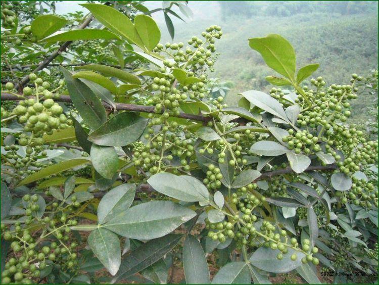 九叶青花椒芽苗 耐旱耐寒花椒树苗 园林果树基地批发一年生花椒