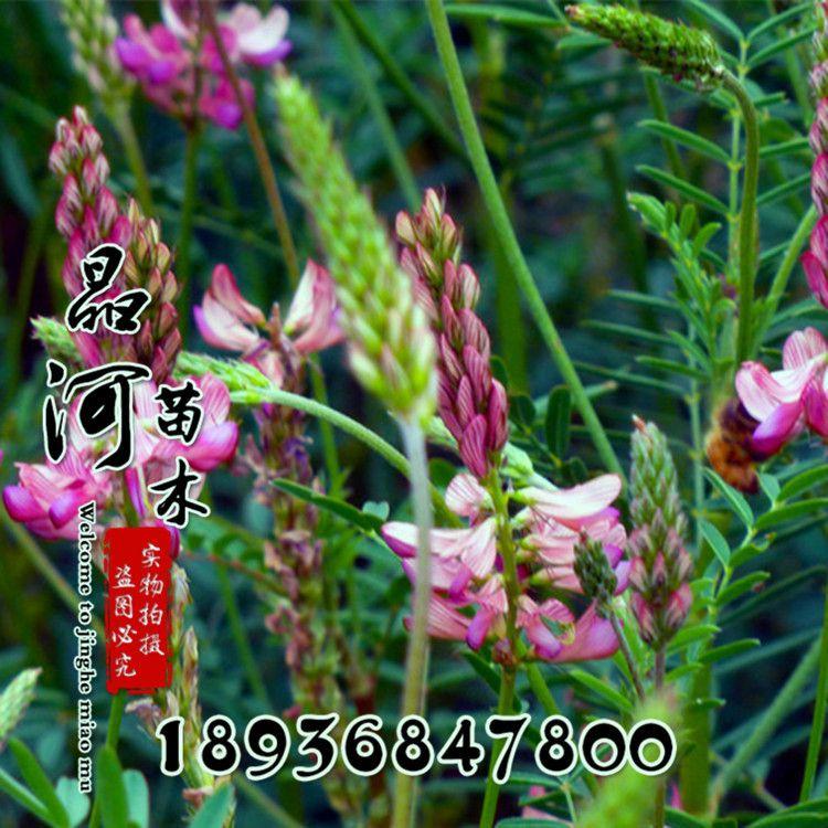 菊苣种子 紫花苜蓿 黑麦草 沙打旺 南方北方牛羊鱼猪草 牧草种子