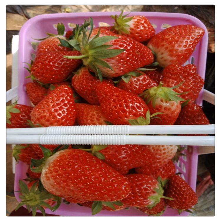 苗圃供应优质草莓苗 塞娃草莓苗  送种植管理资料