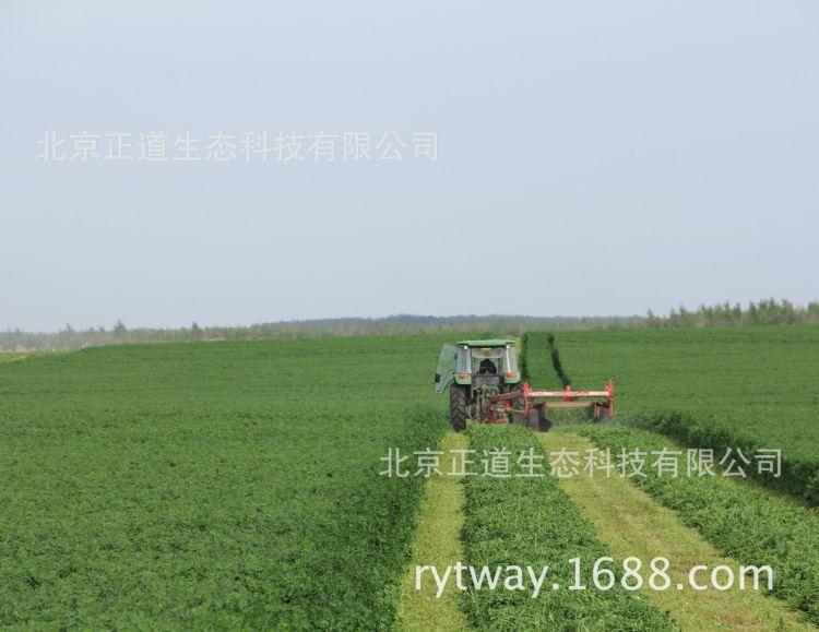 批发紫花苜蓿种子籽国产复兴牛羊鸡鸭鹅牧草饲料裸种子