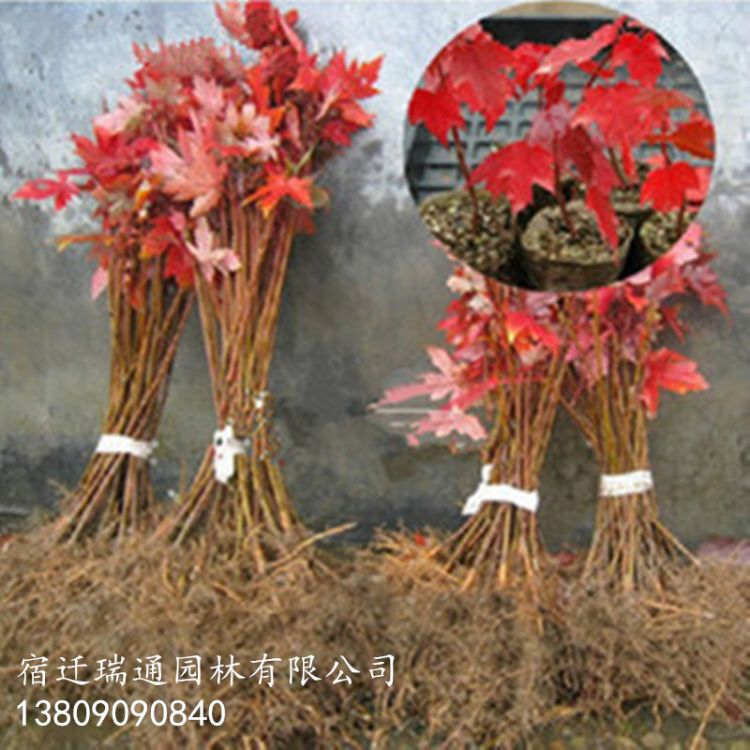 批发美国红枫树.日本红枫.中国红枫嫁接.红枫 品种齐全