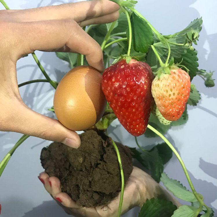 红颜草莓苗盆栽草莓苗四季草莓苗 批发果树苗草莓盆栽苗当年结果