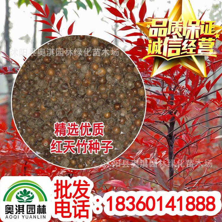 出售红叶南天竹种子 新采红天竹种子 优质红天竹子灌木种子 批发