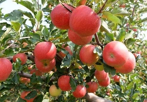 厂家直销  新鲜水果5斤装 红富士苹果生鲜苹果 一件代发