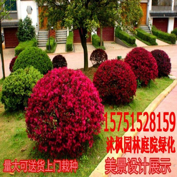 出售红花继木球  红花继木苗 红花小苗红花继木苗红花继木球苗