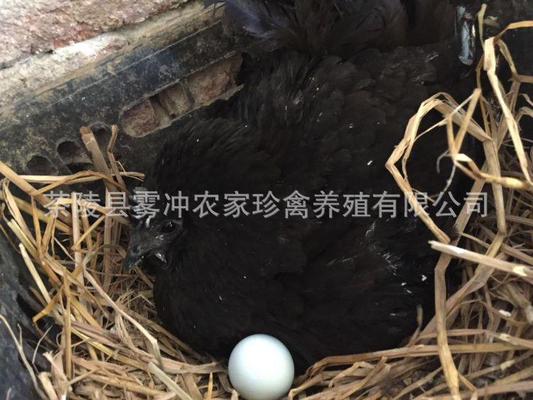 农场直销山间散养绿壳鸡蛋自养新鲜乌鸡蛋木冲山珍园绿壳鸡蛋