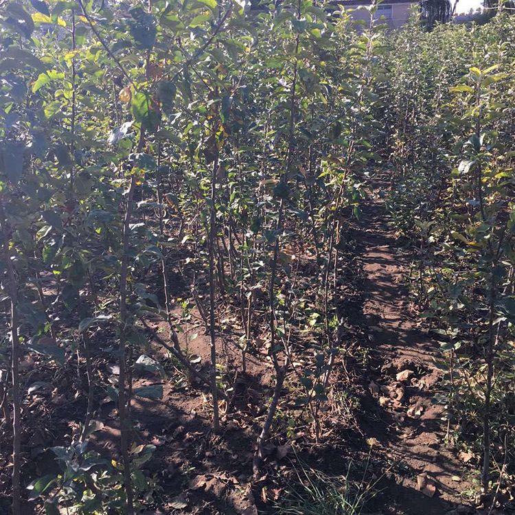 苗圃供应红肉苹果苗 盆栽地栽苹果树苗早熟苹果树挂果多苹果苗