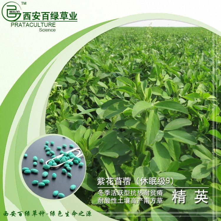 紫花苜蓿种子精英冬季活跃型高产耐高温南方型包衣紫花苜蓿草种子