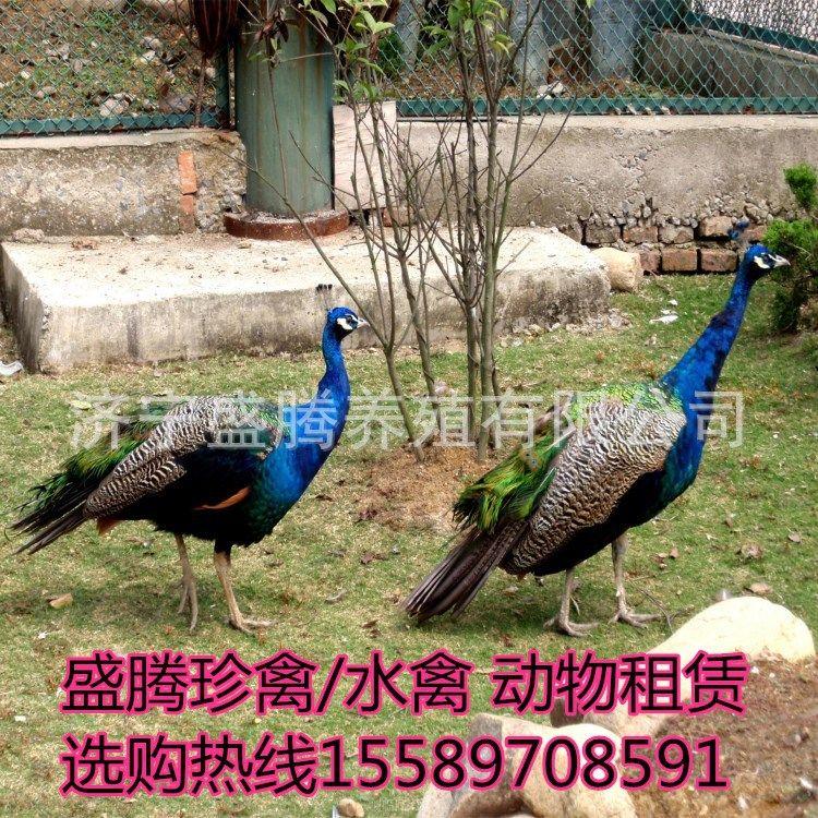 热销的活体孔雀哪里有卖的 一只活体孔雀的价格多少钱 孔雀幼苗