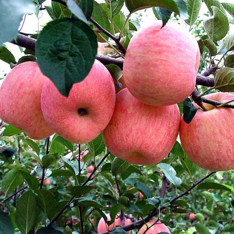 苹果苗批发供应 多品种价格低果树苗下单起苗高质量苹果苗
