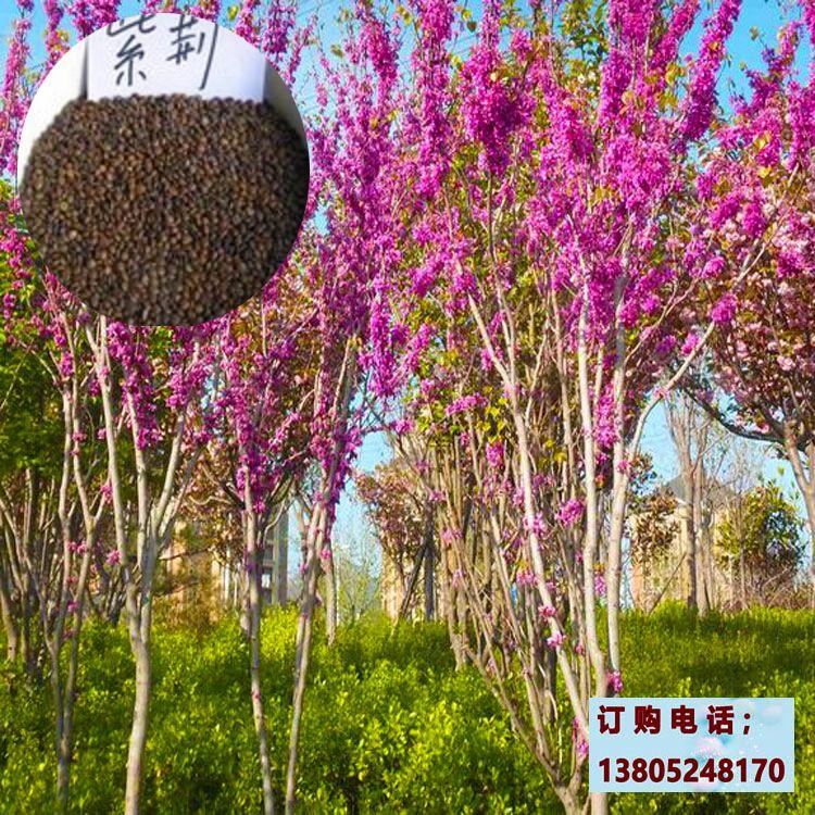 紫荆种子批发,南北方公路绿化苗木品种,紫荆小苗种植技术