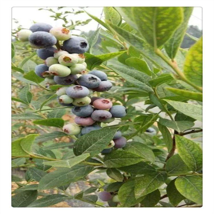 苗木基地供应北陆蓝莓苗 优质蓝莓苗  送种植技术资料