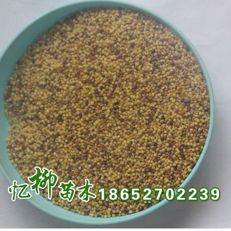 批发优质红三叶种子  净籽 白三叶草 当年新种 红三叶  品质保证
