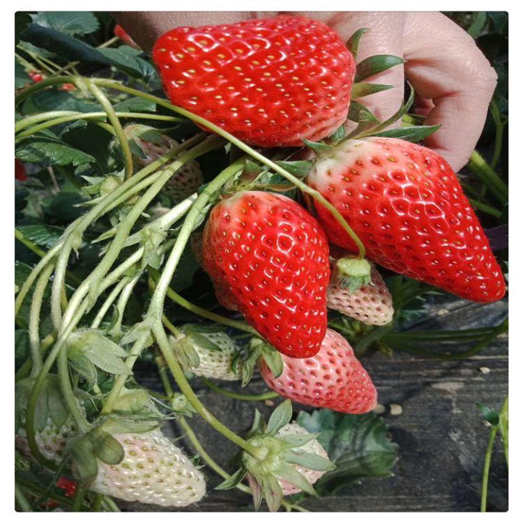红宝草莓苗 优质甜查理草莓苗   量大可包邮
