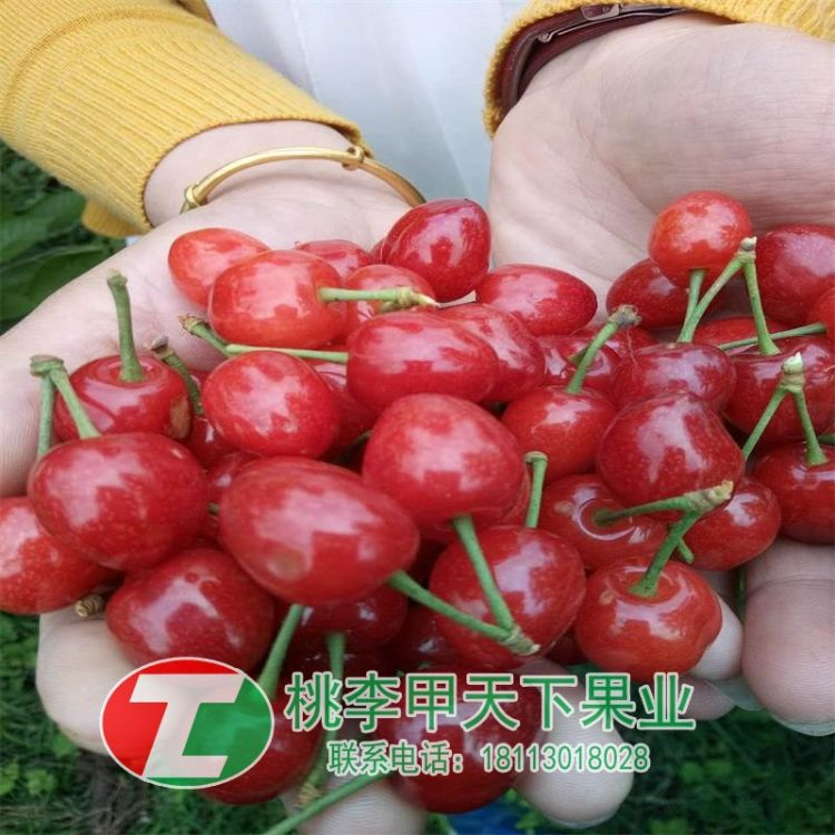 玛瑙红樱桃苗 玛瑙红果树苗 新品种玛瑙红樱桃苗