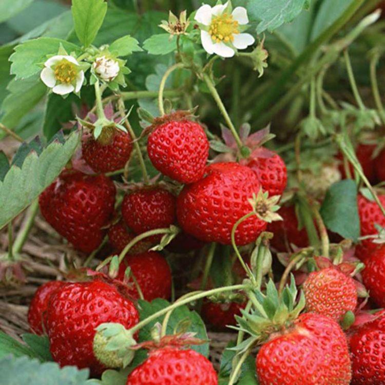 基地出售红颜草莓苗 章姬草莓小苗 绿色有机草莓苗 现挖现卖