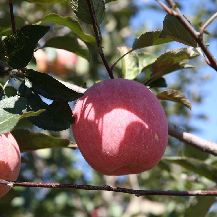 纳帕溪谷红富士苹果新鲜水果烟台苹果20斤装欢迎选购