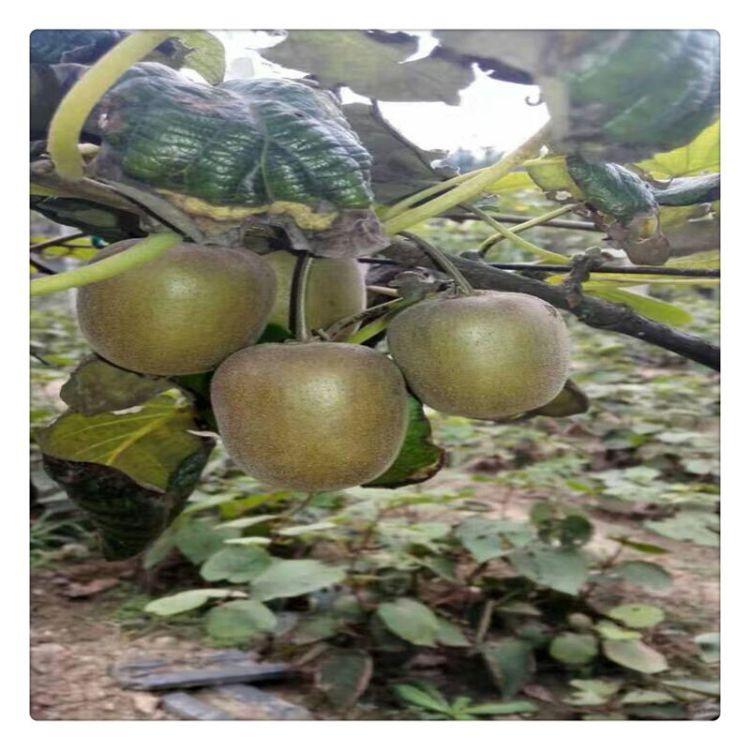 泰安猕猴桃苗 贵长猕猴桃苗货源地 苗圃直销